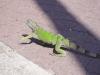 Iguana Mr. Green