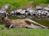 Tiefenentspanntes Wallabie-Känguruh