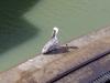 Nur Fische und Krokodile kommen kostenlos durch den Kanal, das weiss auch der Pelikan