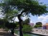Divi-divi Baum