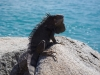 Iguana Hubert