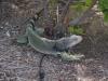 Iguana Willi